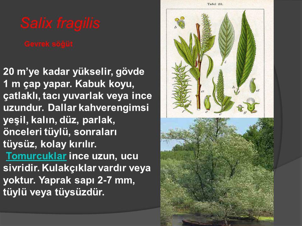 Gevrek söğüt Salix fragilis 20 m'ye kadar yükselir, gövde 1 m çap yapar. Kabuk koyu, çatlaklı, tacı yuvarlak veya ince uzundur. Dallar kahverengimsi y