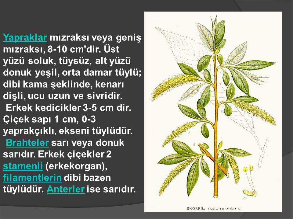 YapraklarYapraklar mızraksı veya geniş mızraksı, 8-10 cm'dir. Üst yüzü soluk, tüysüz, alt yüzü donuk yeşil, orta damar tüylü; dibi kama şeklinde, kena