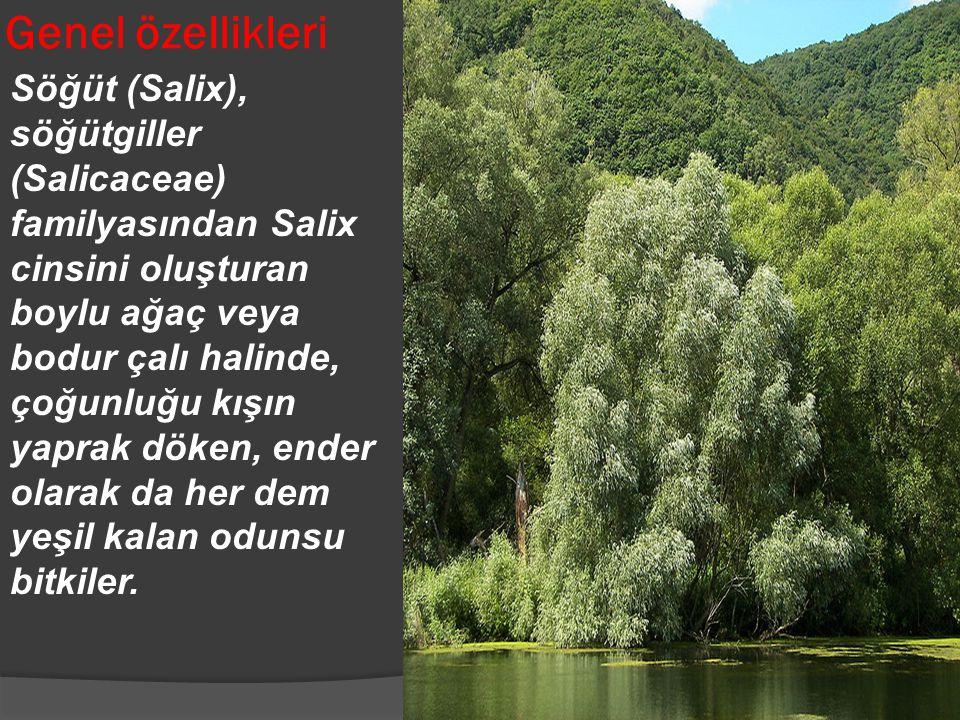 Söğüt (Salix), söğütgiller (Salicaceae) familyasından Salix cinsini oluşturan boylu ağaç veya bodur çalı halinde, çoğunluğu kışın yaprak döken, ender