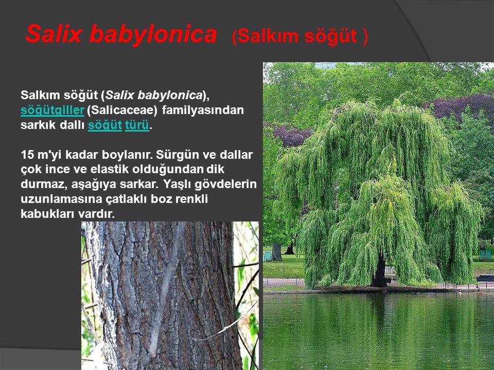 Salkım söğüt (Salix babylonica), söğütgiller (Salicaceae) familyasından sarkık dallı söğüt türü. söğütgillersöğüttürü 15 m'yi kadar boylanır. Sürgün v