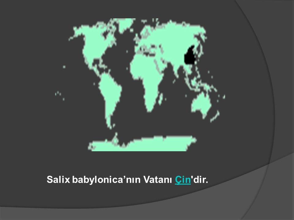 Salix babylonica'nın Vatanı Çin'dir.Çin