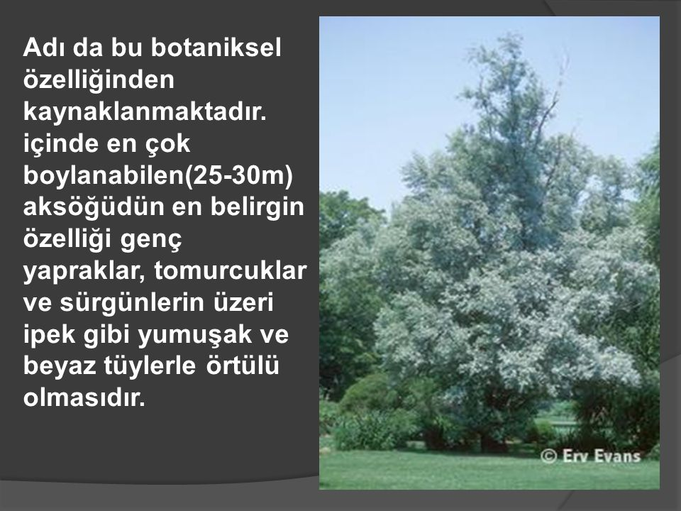 Adı da bu botaniksel özelliğinden kaynaklanmaktadır. içinde en çok boylanabilen(25-30m) aksöğüdün en belirgin özelliği genç yapraklar, tomurcuklar ve