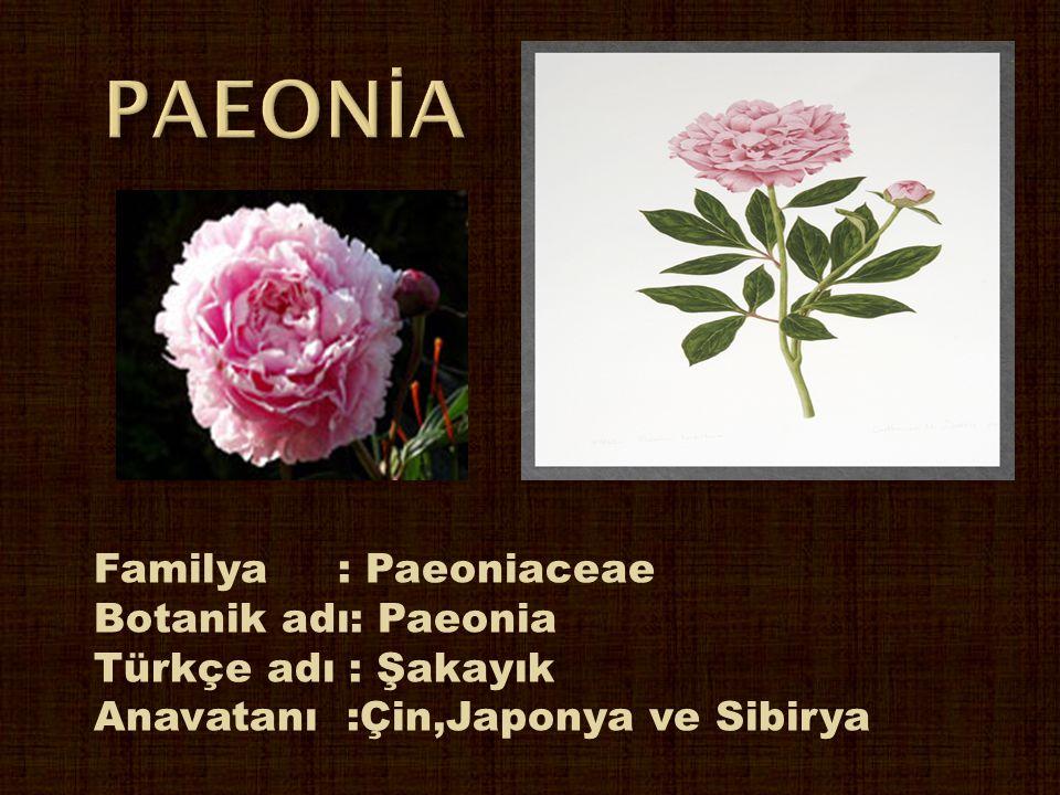 Familya : Paeoniaceae Botanik adı: Paeonia Türkçe adı : Şakayık Anavatanı :Çin,Japonya ve Sibirya