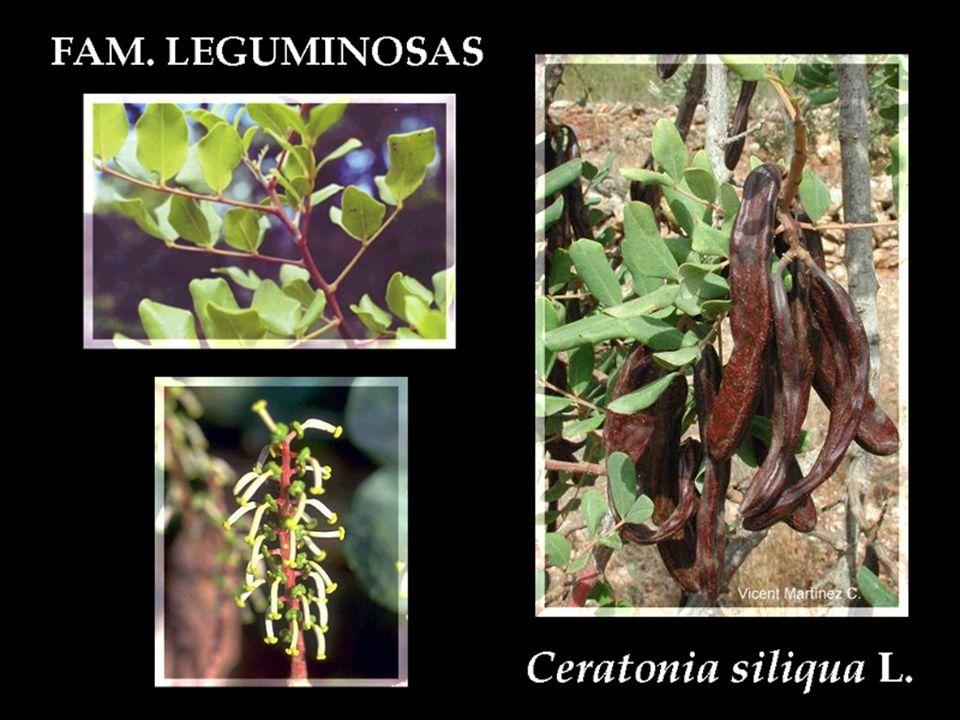 Acacia (Gerçek Akasyalar)  Çoğunlukla ağaç bazıları da boylu çalı halinde odunsu bitkilerdir.