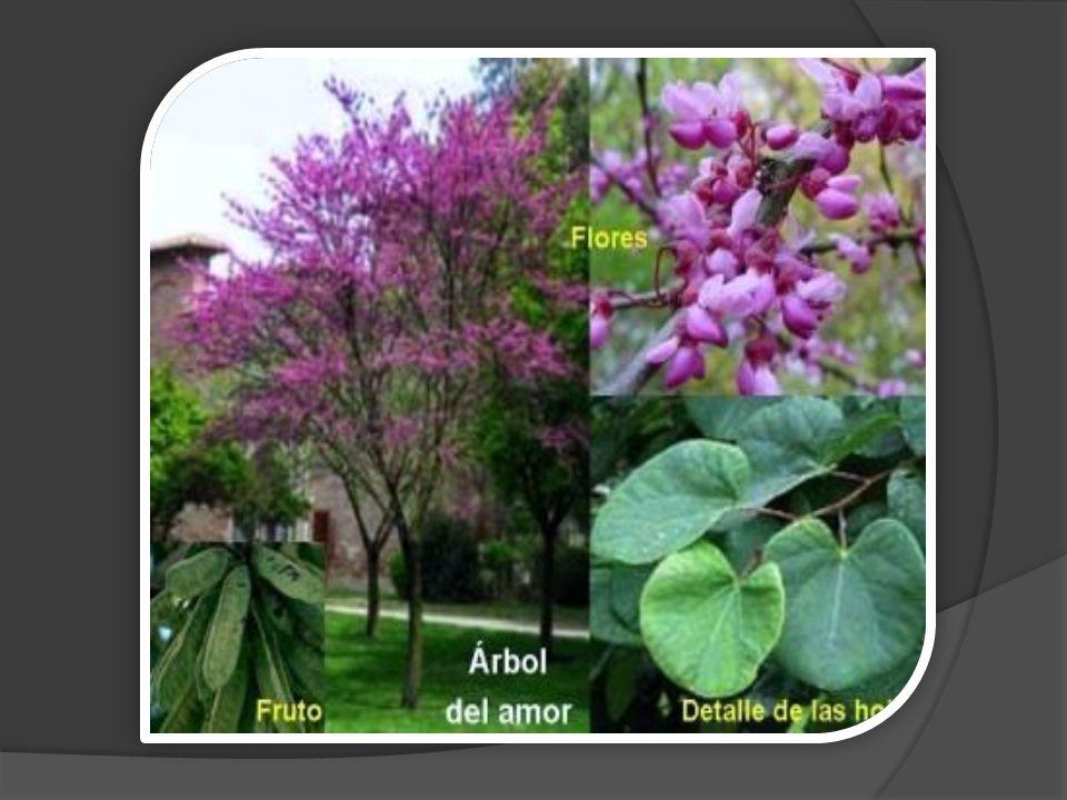 Gleditsia triacanthos (Amerika Glediçyası)  40-50 m boylara ulaşan, gövde ve dallarında çoğunlukla üçlü çatallı parlak kahverengi ve sivri uçlu dikenleri bulunan bir ağaçtır.