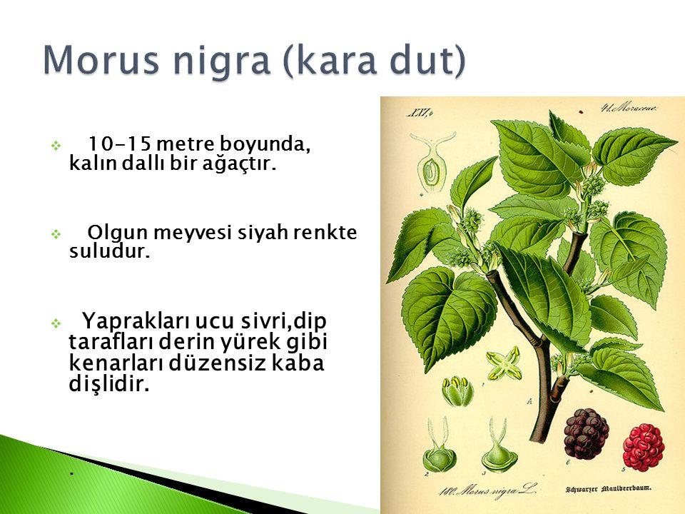  10-15 metre boyunda, kalın dallı bir ağaçtır.  Olgun meyvesi siyah renkte suludur.  Yaprakları ucu sivri,dip tarafları derin yürek gibi kenarları
