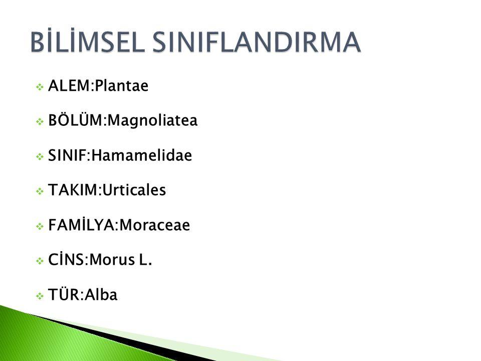  ALEM:Plantae  BÖLÜM:Magnoliatea  SINIF:Hamamelidae  TAKIM:Urticales  FAMİLYA:Moraceae  CİNS:Morus L.  TÜR:Alba