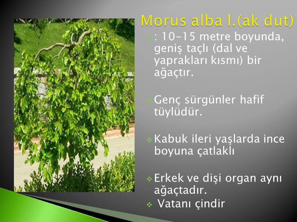  : 10-15 metre boyunda, geniş taçlı (dal ve yaprakları kısmı) bir ağaçtır.  Genç sürgünler hafif tüylüdür.  Kabuk ileri yaşlarda ince boyuna çatlak