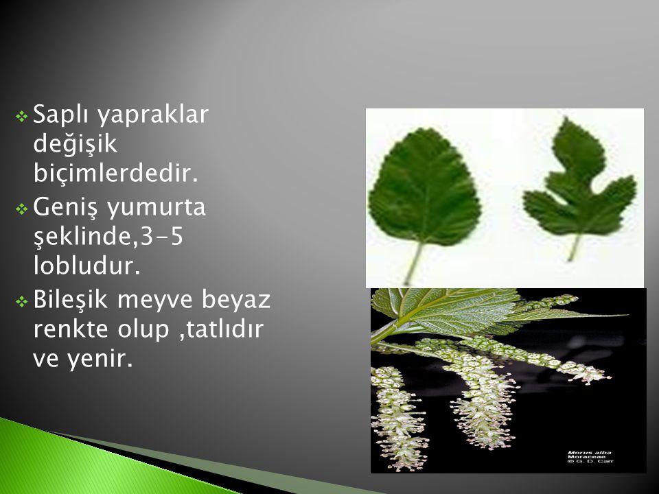  Saplı yapraklar değişik biçimlerdedir.  Geniş yumurta şeklinde,3-5 lobludur.  Bileşik meyve beyaz renkte olup,tatlıdır ve yenir.