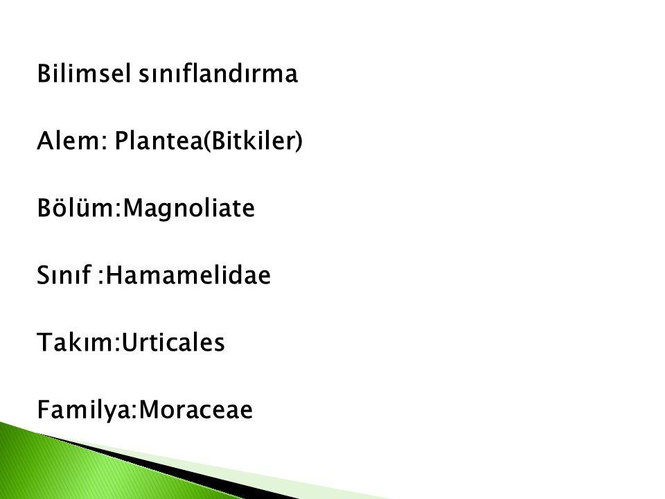 Bilimsel sınıflandırma Alem: Plantea(Bitkiler) Bölüm:Magnoliate Sınıf :Hamamelidae Takım:Urticales Familya:Moraceae