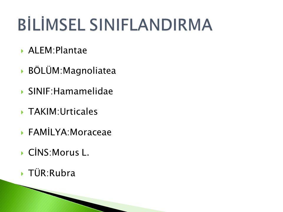  ALEM:Plantae  BÖLÜM:Magnoliatea  SINIF:Hamamelidae  TAKIM:Urticales  FAMİLYA:Moraceae  CİNS:Morus L.  TÜR:Rubra