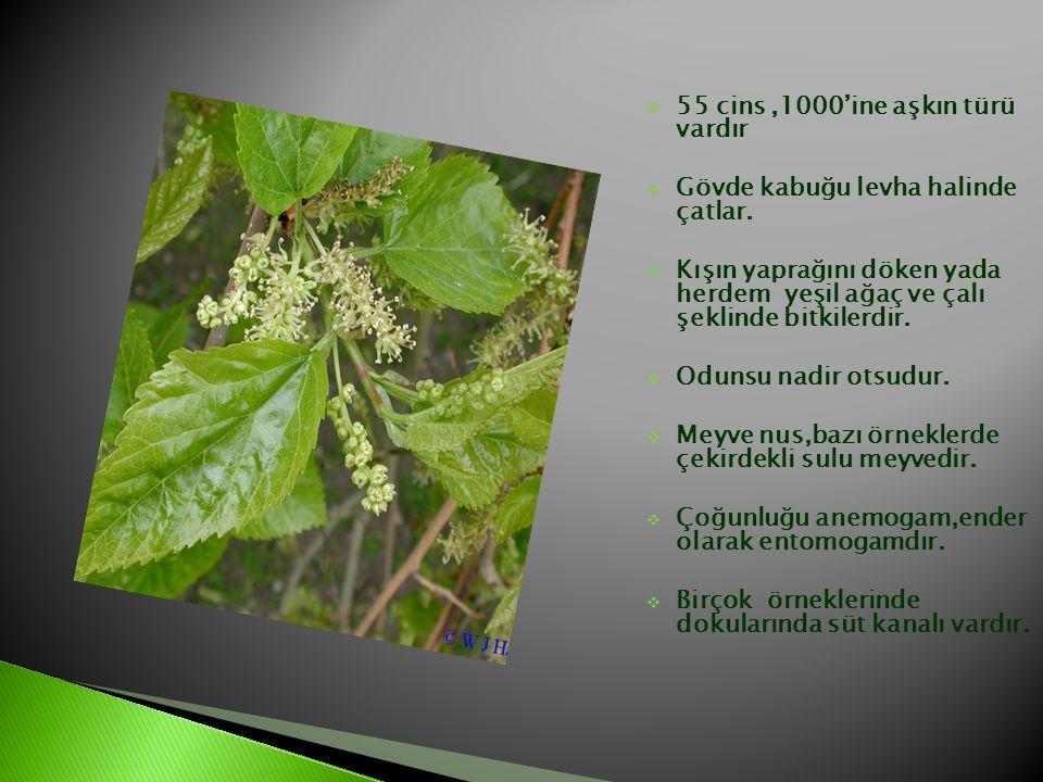  55 cins,1000'ine aşkın türü vardır  Gövde kabuğu levha halinde çatlar.  Kışın yaprağını döken yada herdem yeşil ağaç ve çalı şeklinde bitkilerdir.