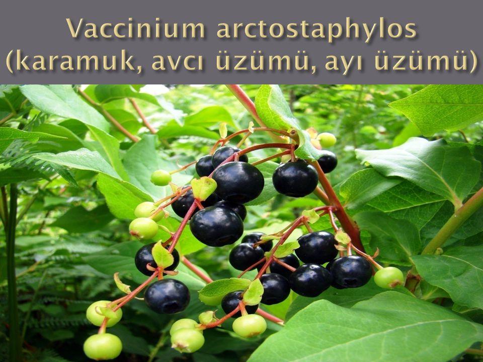 Alem : Plantae Bölüm : Angiospermae Sınıf : Dikotiledonia Takım : Ericales Familya : Ericaceae Cins : Vaccinium Tür : Vaccinium arctostaphylos