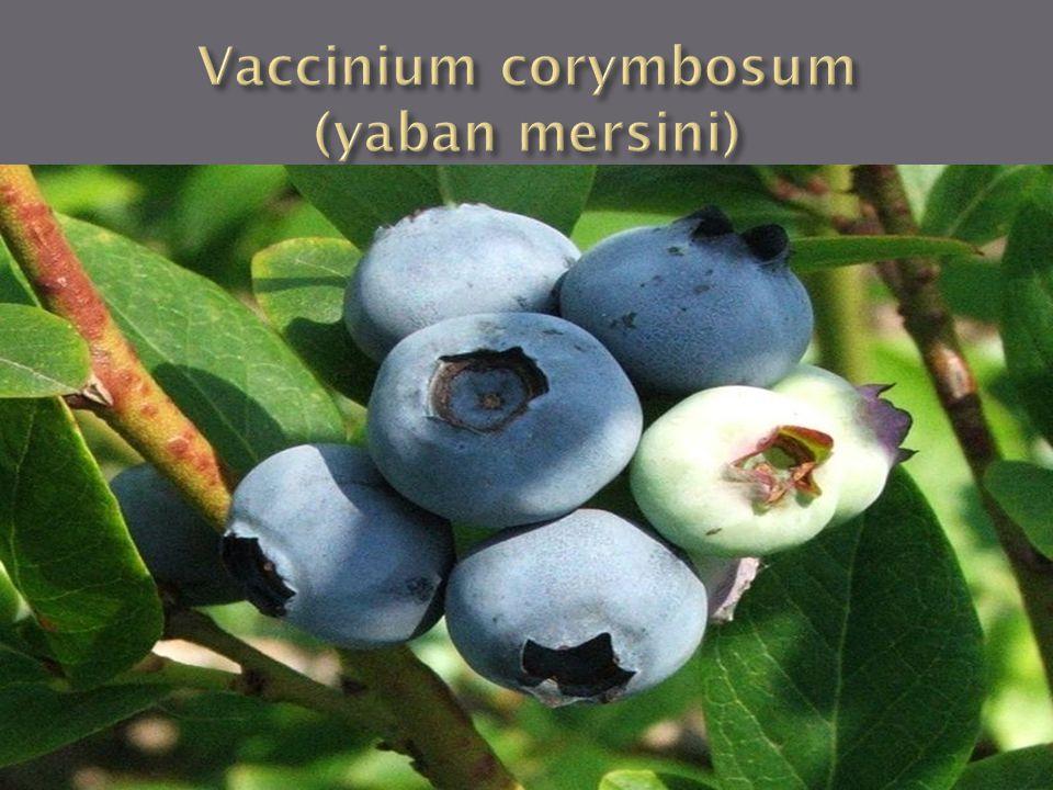 Alem : Plantae Bölüm : Angiospermae Sınıf : Dikotiledonia Takım : Ericales Familya : Ericaceae Cins : Vaccinium Tür : Vaccinium corymbosum L.