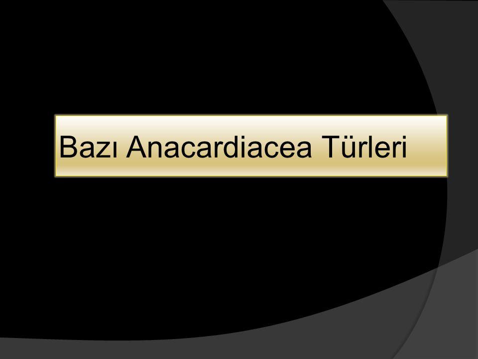 Bazı Anacardiacea Türleri
