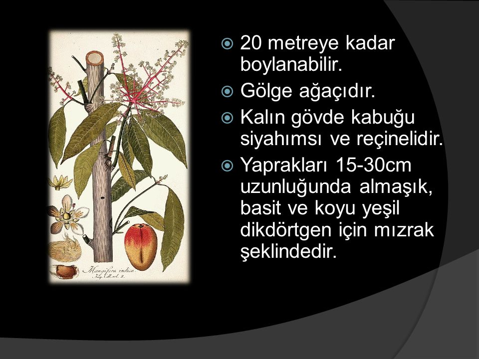  20 metreye kadar boylanabilir.  Gölge ağaçıdır.  Kalın gövde kabuğu siyahımsı ve reçinelidir.  Yaprakları 15-30cm uzunluğunda almaşık, basit ve k
