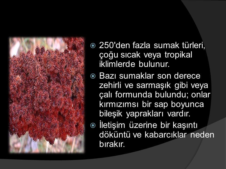  250'den fazla sumak türleri, çoğu sıcak veya tropikal iklimlerde bulunur.  Bazı sumaklar son derece zehirli ve sarmaşık gibi veya çalı formunda bul
