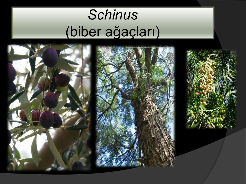 Schinus (biber ağaçları)