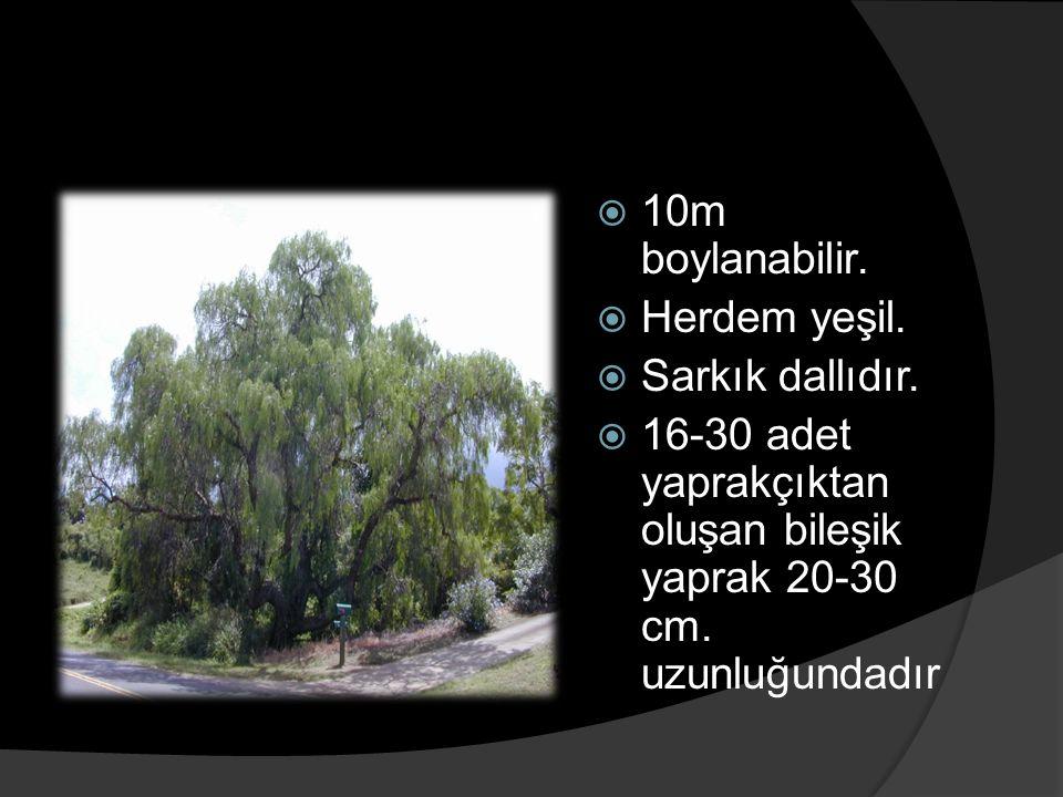  10m boylanabilir.  Herdem yeşil.  Sarkık dallıdır.  16-30 adet yaprakçıktan oluşan bileşik yaprak 20-30 cm. uzunluğundadır