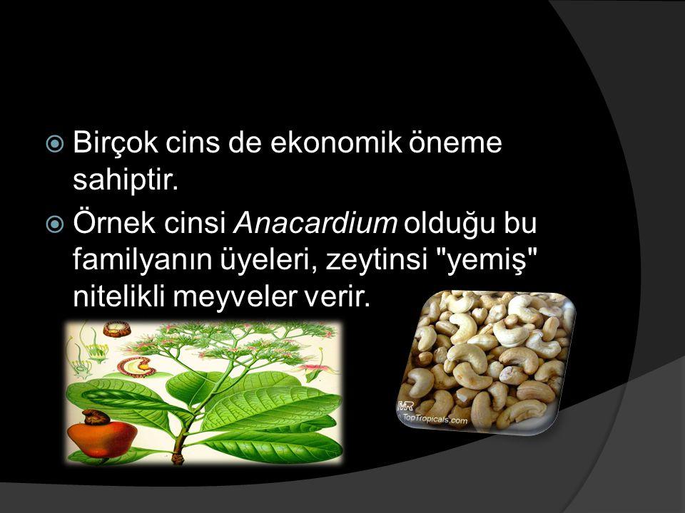  Birçok cins de ekonomik öneme sahiptir.  Örnek cinsi Anacardium olduğu bu familyanın üyeleri, zeytinsi
