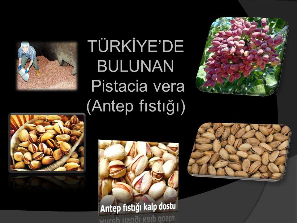TÜRKİYE'DE BULUNAN Pistacia vera (Antep fıstığı) TÜRKİYE'DE BULUNAN Pistacia vera (Antep fıstığı)