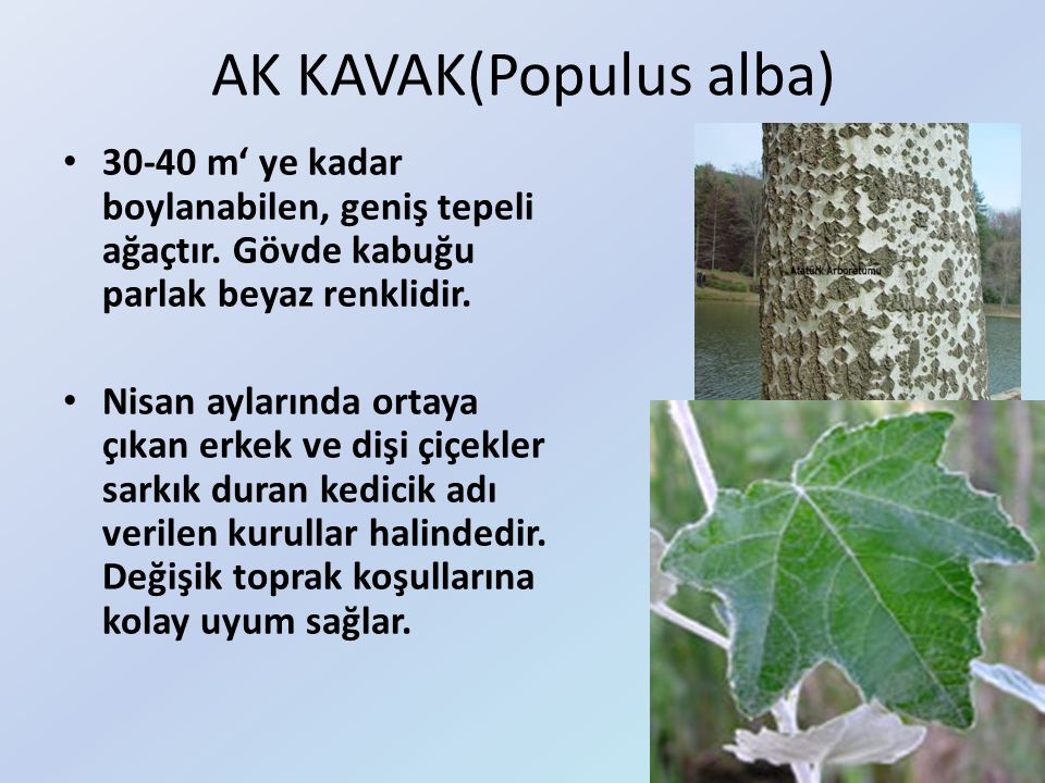 AK KAVAK(Populus alba) 30-40 m' ye kadar boylanabilen, geniş tepeli ağaçtır. Gövde kabuğu parlak beyaz renklidir. Nisan aylarında ortaya çıkan erkek v