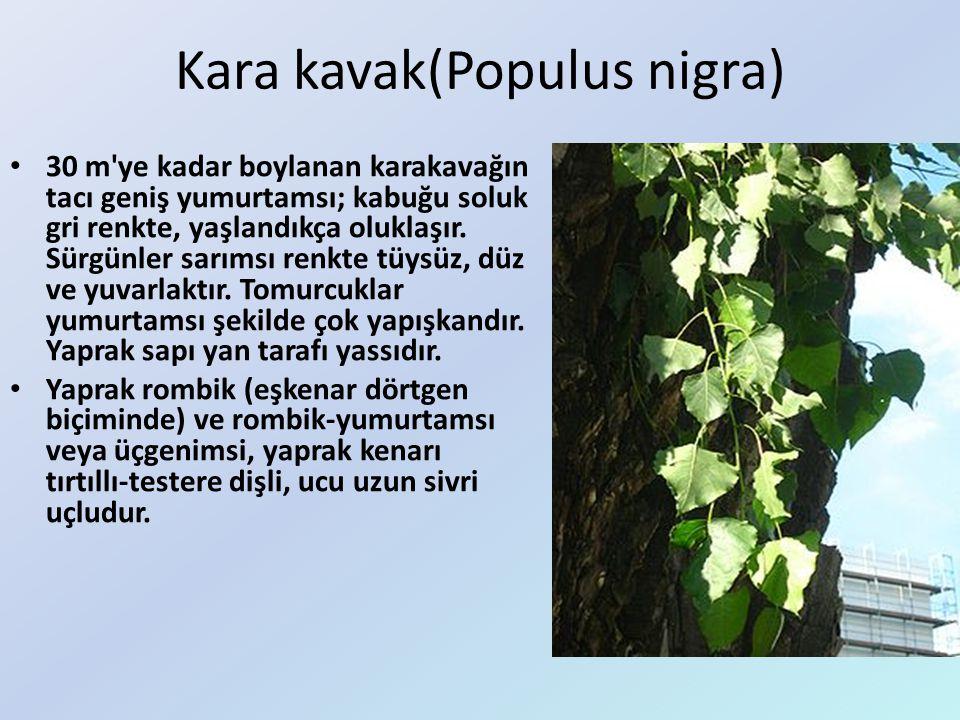 Kara kavak(Populus nigra) 30 m'ye kadar boylanan karakavağın tacı geniş yumurtamsı; kabuğu soluk gri renkte, yaşlandıkça oluklaşır. Sürgünler sarımsı