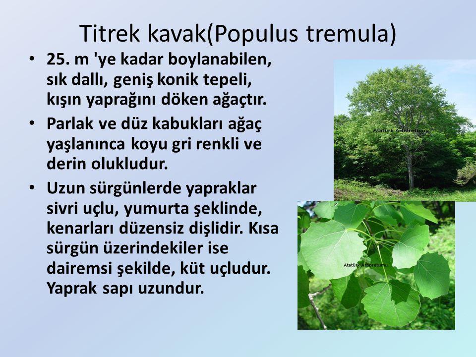 Titrek kavak(Populus tremula) 25. m 'ye kadar boylanabilen, sık dallı, geniş konik tepeli, kışın yaprağını döken ağaçtır. Parlak ve düz kabukları ağaç