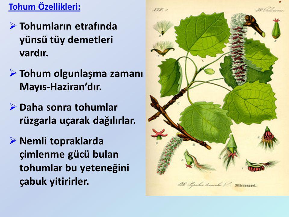 Tohum Özellikleri:  Tohumların etrafında yünsü tüy demetleri vardır.  Tohum olgunlaşma zamanı Mayıs-Haziran'dır.  Daha sonra tohumlar rüzgarla uçar