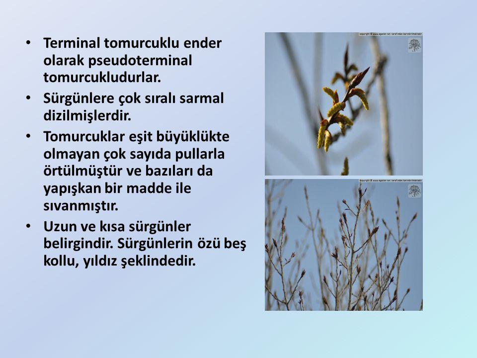 Terminal tomurcuklu ender olarak pseudoterminal tomurcukludurlar. Sürgünlere çok sıralı sarmal dizilmişlerdir. Tomurcuklar eşit büyüklükte olmayan çok