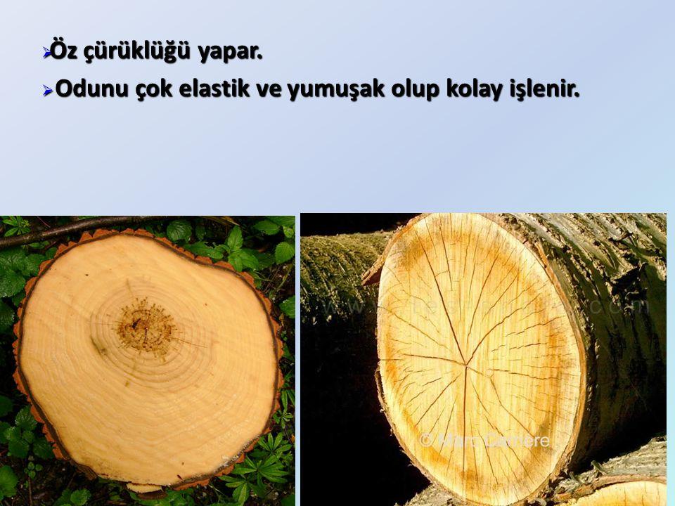  Öz çürüklüğü yapar.  Odunu çok elastik ve yumuşak olup kolay işlenir.