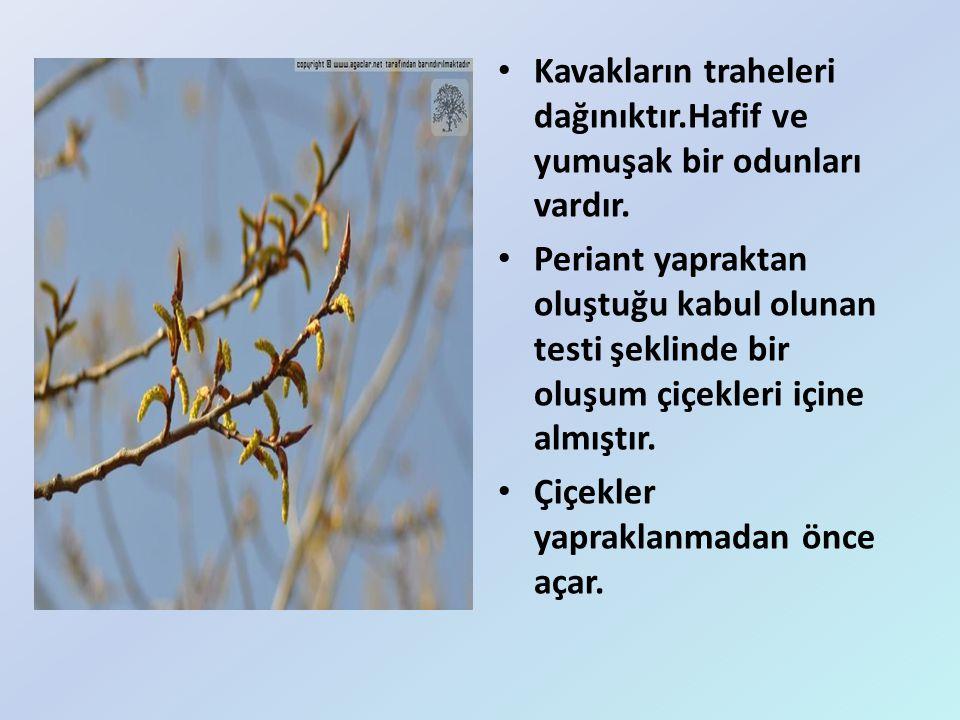 Kavakların traheleri dağınıktır.Hafif ve yumuşak bir odunları vardır. Periant yapraktan oluştuğu kabul olunan testi şeklinde bir oluşum çiçekleri için
