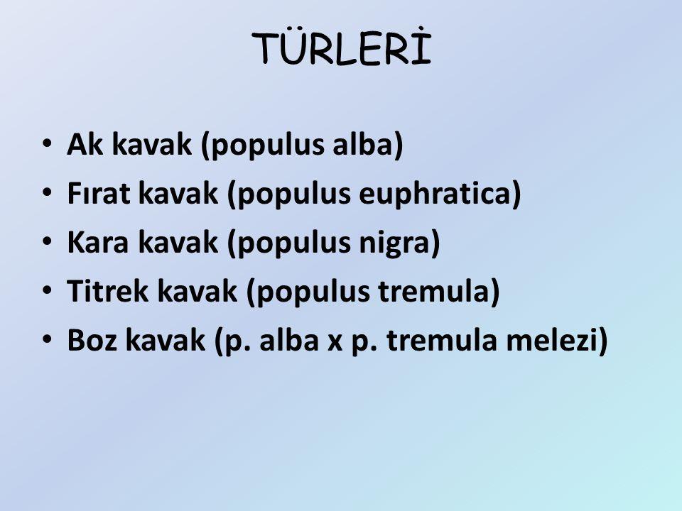 TÜRLERİ Ak kavak (populus alba) Fırat kavak (populus euphratica) Kara kavak (populus nigra) Titrek kavak (populus tremula) Boz kavak (p. alba x p. tre