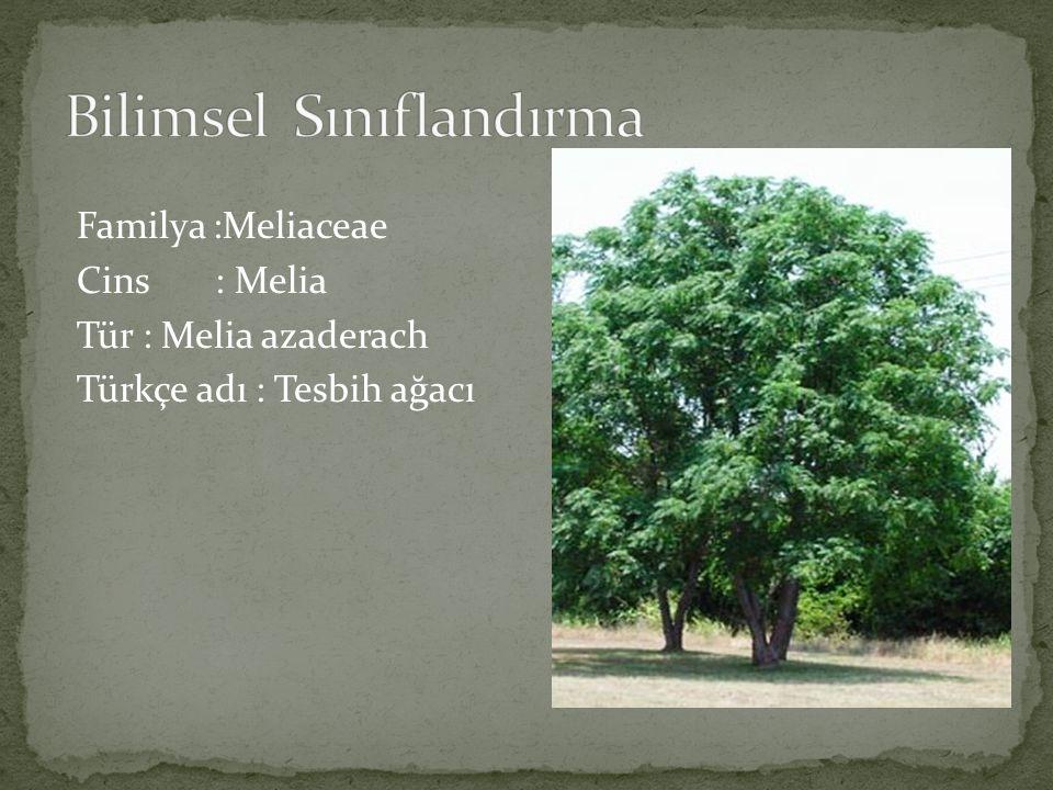 Melia azaderach Tesbih ağacı Anavatanı Doğu Asya ve Himalayalar olup Avrupa da ve ülkemizde de yetiştirilir.