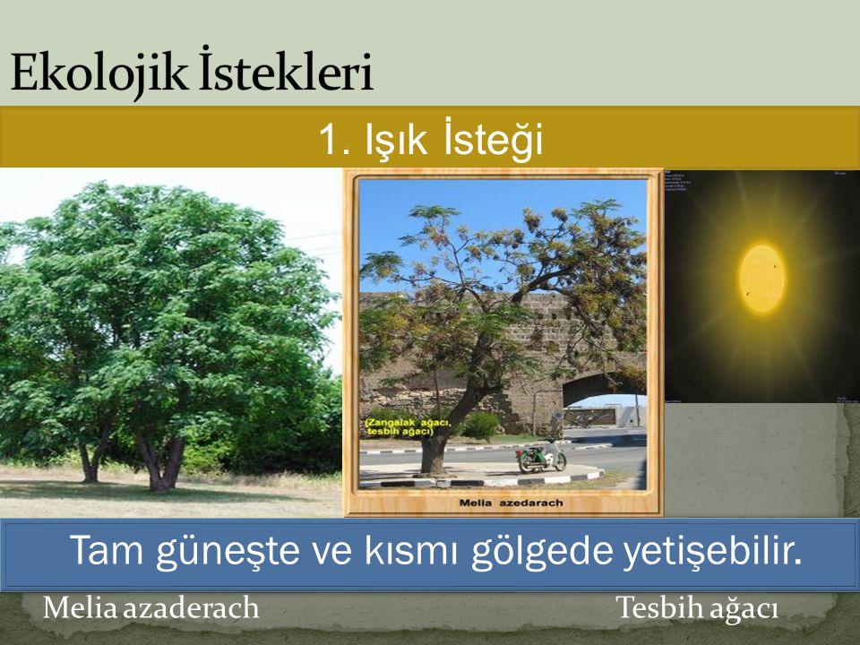1. Işık İsteği Tam güneşte ve kısmı gölgede yetişebilir.
