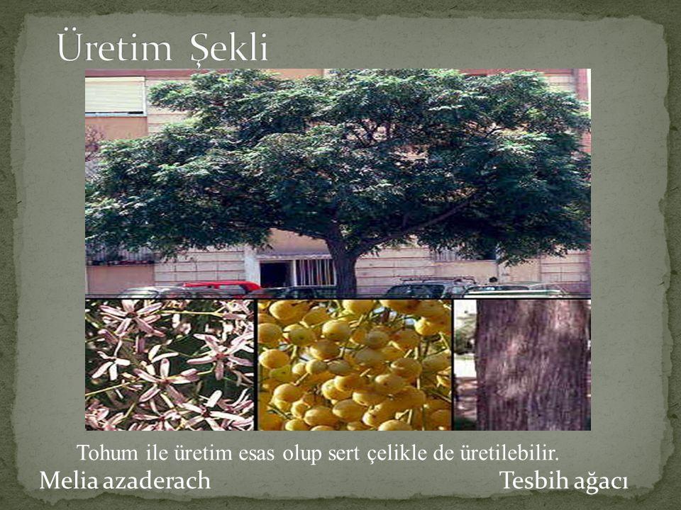 Melia azaderach Tesbih ağacı Tohum ile üretim esas olup sert çelikle de üretilebilir.