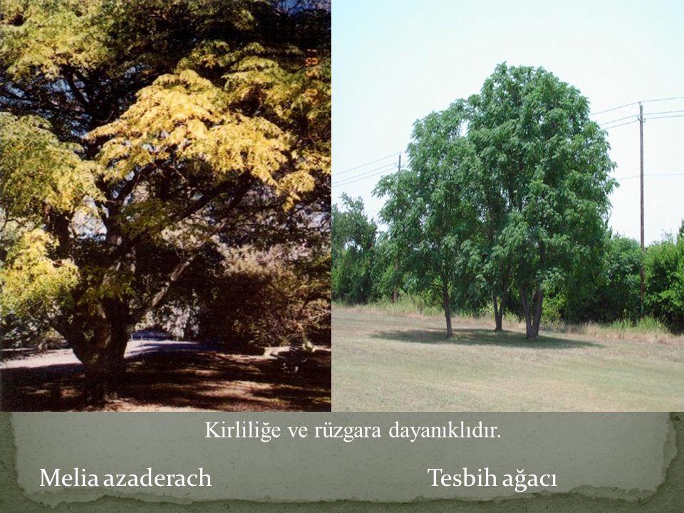 Melia azaderach Tesbih ağacı Kirliliğe ve rüzgara dayanıklıdır.