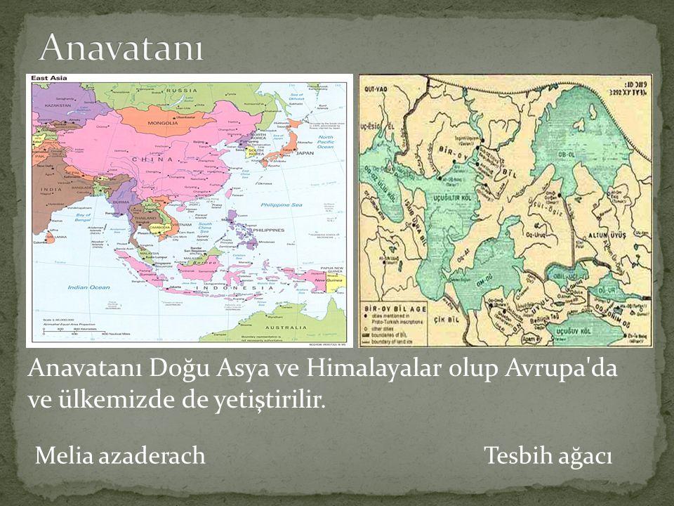 Melia azaderach Tesbih ağacı Anavatanı Doğu Asya ve Himalayalar olup Avrupa'da ve ülkemizde de yetiştirilir.