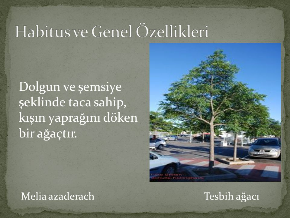 Melia azaderach Tesbih ağacı Dolgun ve şemsiye şeklinde taca sahip, kışın yaprağını döken bir ağaçtır.