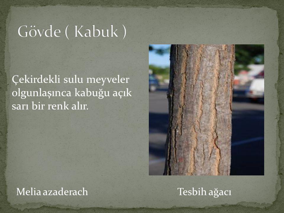 Melia azaderach Tesbih ağacı Park ve bahçelerde soliter, grup veya aile ağacı olarak veya kent İçi yol ağaçlandırmalarında kullanılır.