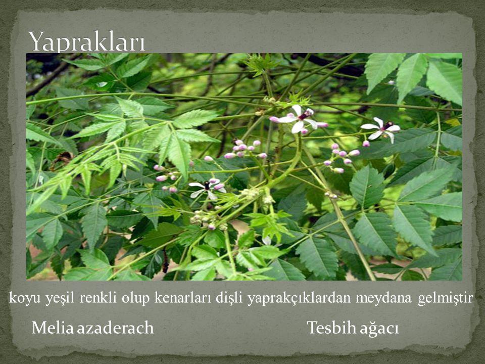 Melia azaderach Tesbih ağacı koyu yeşil renkli olup kenarları dişli yaprakçıklardan meydana gelmiştir