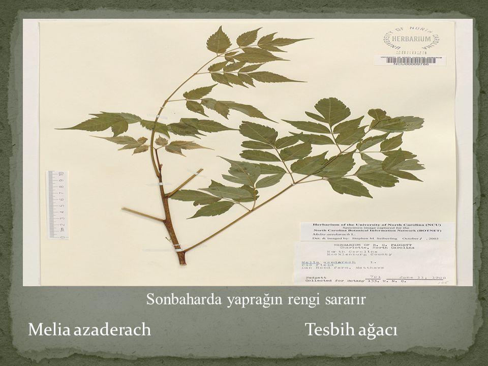 Melia azaderach Tesbih ağacı Odunundan mobilya, nefesli sazlar, meyvelerinden tespih ve takı, kabuğundan hekimlikte kullanılan ilaçlar yapılır