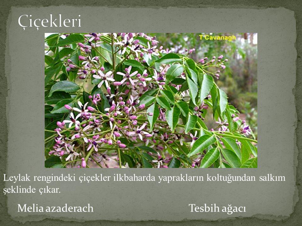 Melia azaderach Tesbih ağacı Leylak rengindeki çiçekler ilkbaharda yaprakların koltuğundan salkım şeklinde çıkar.