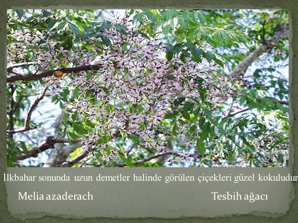 Melia azaderach Tesbih ağacı İlkbahar sonunda uzun demetler halinde görülen çiçekleri güzel kokuludur.