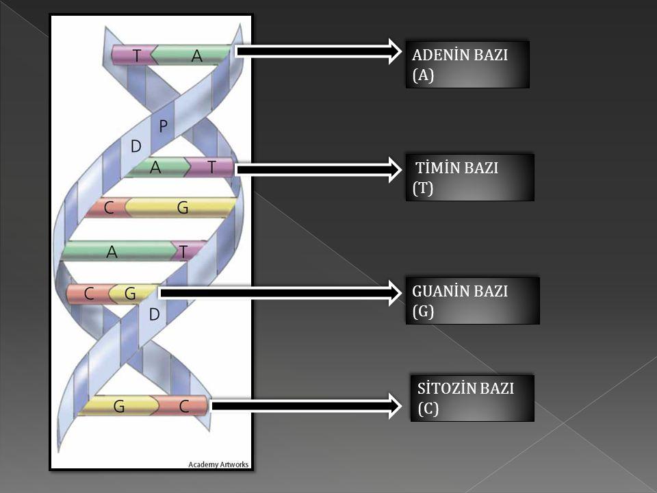 1- Canlı yaşamında bozulmadan yapısını korur.2-Hücre içi metabolizma olaylarını gerçekleştirir.