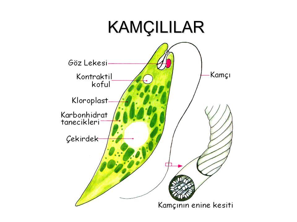 CIVIK MANTARLARIN GENEL ÖZELLİKLERİ Tek hücre veya birden fazla hücrenin birleşmesinden oluşur. Hücreler arasında sınır bulunmaz ve kitle halinde bir