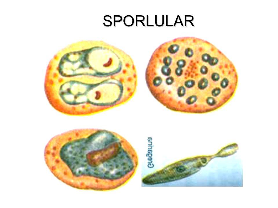 SİLLİLERİN GENEL ÖZELLİKLERİ En gelişmiş protista grubudur. En bilinen türü Terliksi Hayvandır.(Paramezyum) Çok sayıda Mikronükleus ve Makronükleus iç