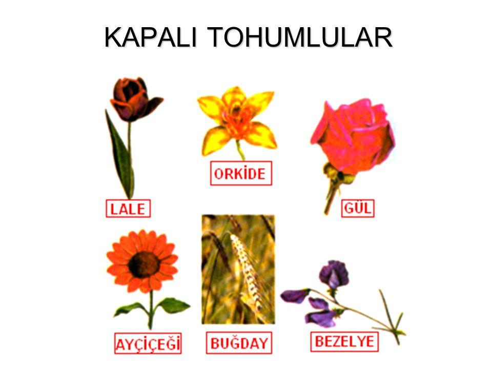 AÇIK TOHUMLULARIN GENEL ÖZELLİKLERİ Gerçek tohum taslağı yoktur ve tohum kozalak içinde gelişir. Çiçekleri yoktur bu yüzden bunlara kozalaklı bitkiler