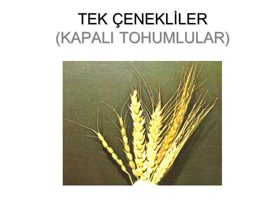 KAPALI TOHUMLULARIN GENEL ÖZELLİKLERİ Ovül(tohum taslağı) bir karpel içinde kapalı olan tohumlu bitkilerdir. Olgunlaştığında tohumlar meyve içerisinde
