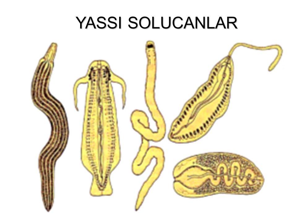 HALKALI SOLUCANLARIN GENEL ÖZELLİKLERİ 9000 türü vardır. Ama en önemlisi Toprak solucanıdır. Kapalı dolaşım, deri solunumu, kendini yenileme görülür.